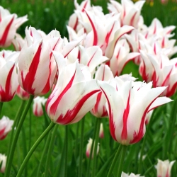 Tulipa Marilyn - Tulip Marilyn - 5 lampu
