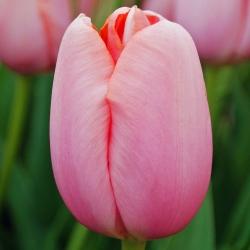 Tulipa Menton - paquete de 5 piezas