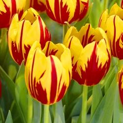 Tulipa Mickey Mouse - Tulip Mickey Mouse - 5 bulbs
