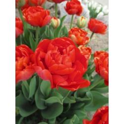 توليبدا ميراندا - توليب ميراندا - 5 لمبات - Tulipa Miranda