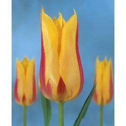 Tulipa Mona Lisa - Tulip Mona Lisa - 5 lampu
