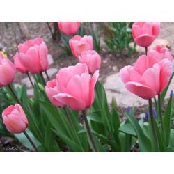 Tulipa Pink Impression - Tulip Pink Impression - 5 bulbs