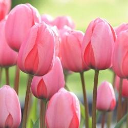 Тюльпан Pink Impression - пакет из 5 штук - Tulipa Pink Impression