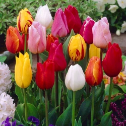 Tulipa Mix - Tulip Mix - 5 kvetinové cibule