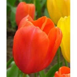 Tulip Orange – large pack! – 50 pcs