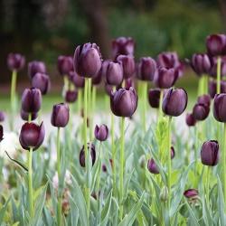 Tulipa Queen of Night - paquete de 5 piezas