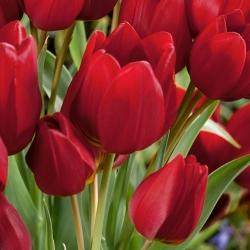 Tulipa Red Georgette - Tulip Red Georgette - 5 lampu