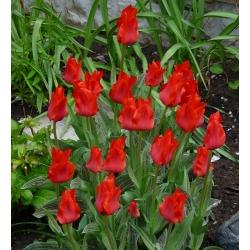 Tulipa Red Riding Hood - paquete de 5 piezas