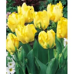 Тюльпан Texas Gold - пакет из 5 штук - Tulipa Texas Gold