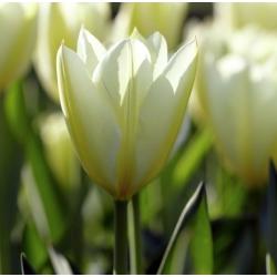 Tulipa White Purissima - paquete de 5 piezas