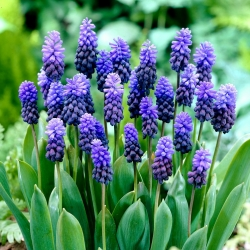 Muscari latifolium - hrozno hyacint latifolium - 10 kvetinové cibule