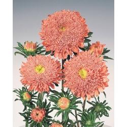 "Розово-оранжевая китайская ""принцесса"" астра - 500 семян - Callistephus chinensis - семена"