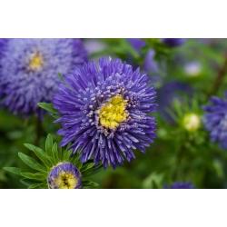 "Синяя китайская астра ""Принцесса"" - 500 семян - Callistephus chinensis - семена"