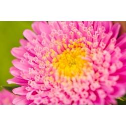 "Розовая китайская ""принцесса"" астра - 500 семян - Callistephus chinensis - семена"