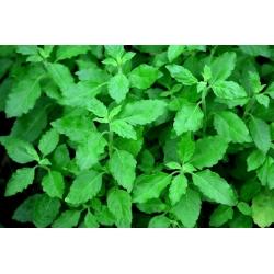 Holy basil, Tulasi - 1250 seeds