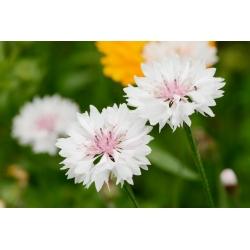 Búzavirág - Classic Romantic - 250 magok - Centaurea cyanus