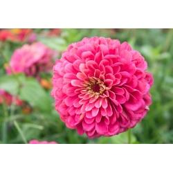 """Dahlia-flowered common zinnia """"Illumination"""" - 120 seeds"""