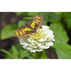 """Dahlia-kvetovaný spoločný zinnia """"ľadový medveď"""" - 120 semien - Zinnia elegans dahliaeflora - semená"""