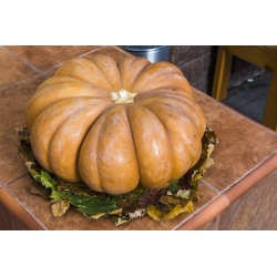"""Musk squash """"Muscade de Provence"""" - with very aromatic fruit flesh - 18 seeds"""