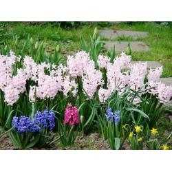 Hyacinthus Mix - Hyacinth Mix - 3 bulbs