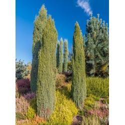 Közönséges boróka - Juniperus communis - magok