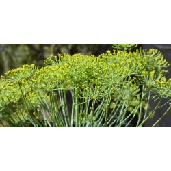 Aedtill - Bouquet - 2800 seemned - Anethum graveolens L.