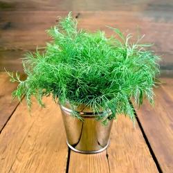 """Garden dill """"Hercules"""" - 2800 seeds"""
