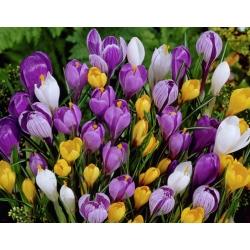 Set 10 – Large–flowered crocus – selected variety mix – 100 pcs + 10 pcs for FREE