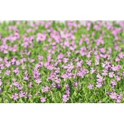 Кивая, светлячок - Silene pendula - семена