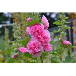 Common hollyhock - pink variety - 50 seeds