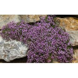 Rock soapwort, Tumbling Ted - 225 biji - Saponaria ocymoides - benih