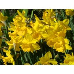 Narcissus Golden Harvest - Daffodil Golden Harvest - 5 bulbs