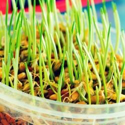 تنبت البذور - الشعير الشباب -  - ابذرة