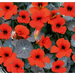 "Garden nasturtium ""Empress of India"" - low growing variety - 40 seeds"