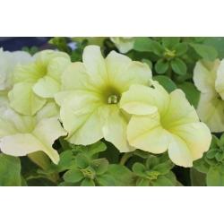 Petuunia - Cascada - kollane - 160 seemned - Petunia x hybrida pendula