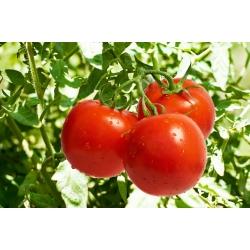 """Tomato """"Samurai"""" - field variety"""