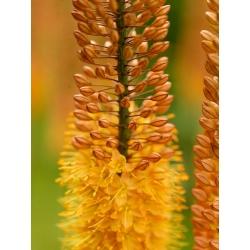 Eremurus, Foxtail Lilies Pinokkio