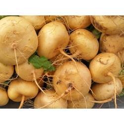 Naeris - Golden Ball - 2500 seemned - Brassica rapa subsp. Rapa