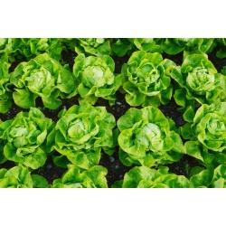"Butterhead lettuce ""Bona"" - 900 seeds"