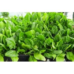 Spinat - Asta F1 - 1200 seemned - Spinacia oleracea L.