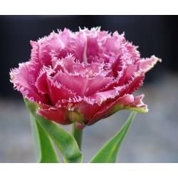 Тюльпан Mascotte - пакет из 5 штук - Tulipa Mascotte