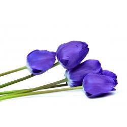 Tulip Blue – large pack! – 50 pcs