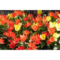 Tulp botanical mix - pakend 5 tk - Tulipa botanical