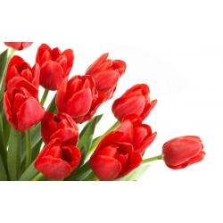 Tulip – Red – large pack! – 50 pcs