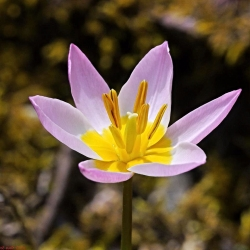 Tulipa Saxatilis - tulipán Saxatilis - 5 kvetinové cibule