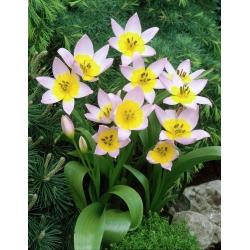 Tulipa Saxatilis - Tulip Saxatilis - 5 bulbs