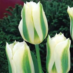 Tulipa Spring Green - Tulip Spring Green - 5 kvetinové cibule