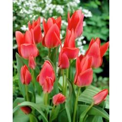 Tulipa Toronto - Tulip Toronto - 5 lampu