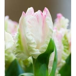 Тюльпан Webers Parrot - пакет из 5 штук - Tulipa Webers Parrot