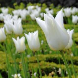 Tulipa White Wings - Tulip White Wings - 5 bulbs